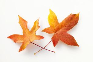 唐楓の紅葉の葉の素材 [FYI00025665]