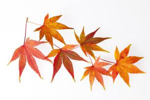 秋色モミジの素材 [FYI00025666]