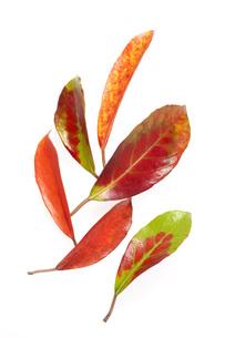 紅葉の葉の素材 [FYI00025668]