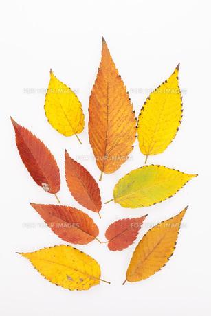 ケヤキの落ち葉の写真素材 [FYI00025671]