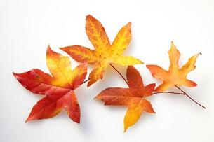 唐楓の紅葉の葉の素材 [FYI00025672]