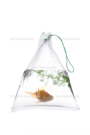 金魚袋の金魚の写真素材 [FYI00026118]