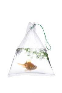 金魚袋の金魚の素材 [FYI00026118]