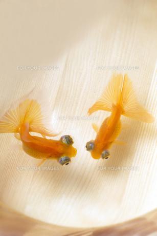 二匹の金魚の素材 [FYI00026127]