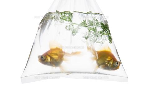 手提げ袋に入れられた金魚の写真素材 [FYI00026155]