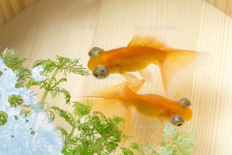 金魚の素材 [FYI00026158]