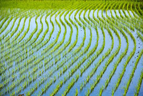 苗が育つ奈良初瀬の水田の素材 [FYI00026159]