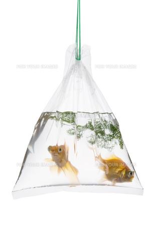 手提げ袋に入れられた金魚の写真素材 [FYI00026174]