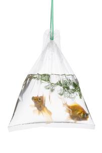 手提げ袋に入れられた金魚の素材 [FYI00026174]