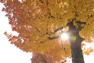 秋色カエデの木から射し込む光の素材 [FYI00026290]