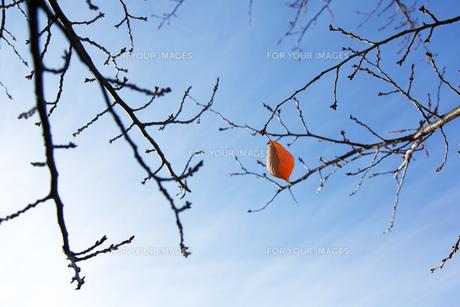 枝に残った最後の葉っぱの素材 [FYI00026433]