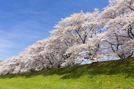 京都府八幡市の桜並木の写真素材 [FYI00026454]