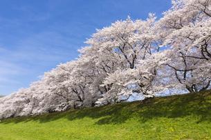 京都府八幡市の桜並木の素材 [FYI00026454]