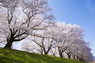 京都府八幡市の桜並木の素材 [FYI00026459]
