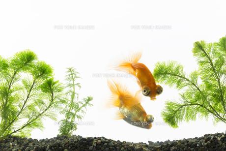 金魚の写真素材 [FYI00026468]