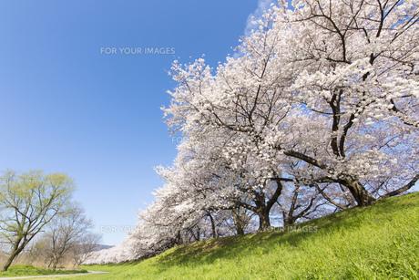 京都府八幡市の桜並木の素材 [FYI00026470]