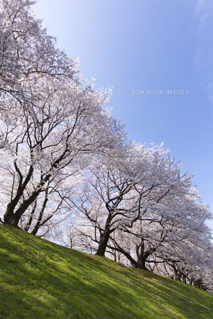 京都府八幡市の桜並木の素材 [FYI00026473]