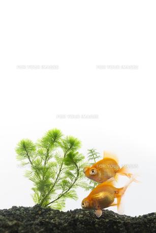 金魚の写真素材 [FYI00026474]