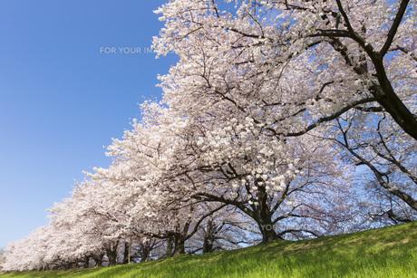 京都府八幡市の桜並木の素材 [FYI00026477]
