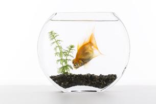 金魚の素材 [FYI00026478]