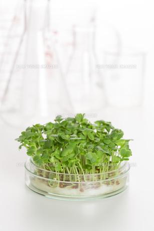 野菜の品種改良イメージの写真素材 [FYI00026481]