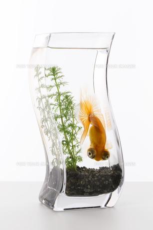 金魚の写真素材 [FYI00026483]