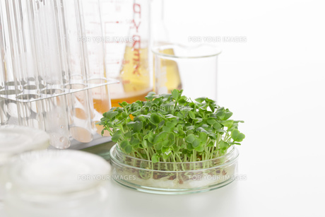野菜の品種改良イメージの写真素材 [FYI00026491]