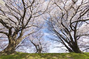 京都府八幡市の桜並木の素材 [FYI00026492]