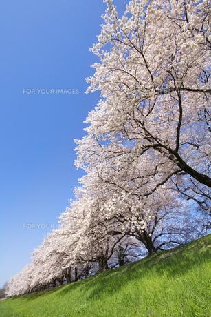京都府八幡市の桜並木の素材 [FYI00026499]