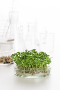 野菜の品種改良イメージの写真素材 [FYI00026501]