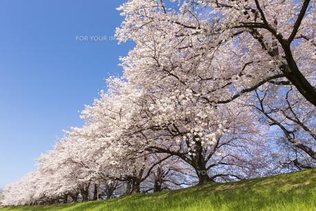 京都府八幡市の桜並木の素材 [FYI00026504]