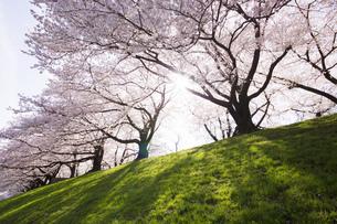 京都府八幡市の桜並木の素材 [FYI00026515]