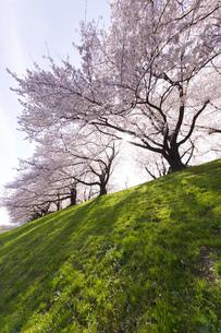 京都府八幡市の桜並木の素材 [FYI00026523]