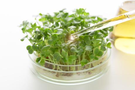 野菜の品種改良イメージの写真素材 [FYI00026540]