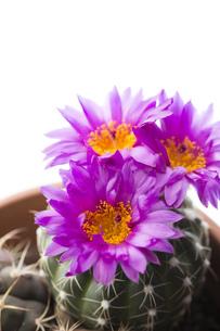 サボテンの花の素材 [FYI00026558]
