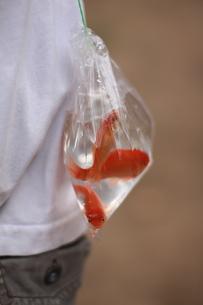 金魚釣りの写真素材 [FYI00026824]