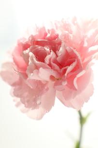 ピンクのカーネーションの写真素材 [FYI00026943]