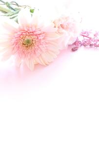 ピンクのガーベラの写真素材 [FYI00031350]
