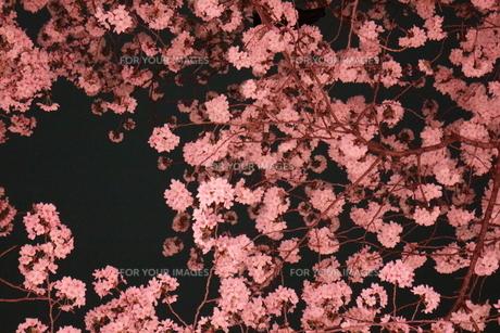 夜桜の素材 [FYI00031536]