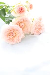 ピンク薔薇の素材 [FYI00032548]