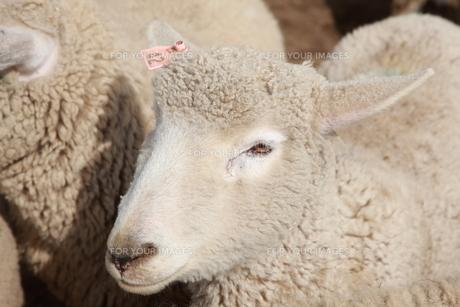 羊の写真素材 [FYI00033159]
