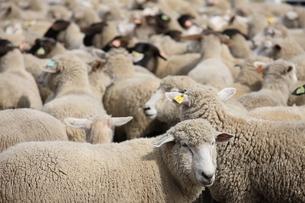 羊の写真素材 [FYI00033162]
