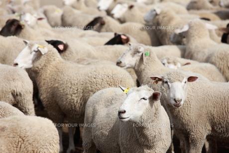 羊の写真素材 [FYI00033167]