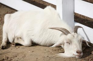 山羊の写真素材 [FYI00033172]