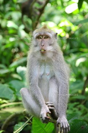 ナッツを食べる猿の写真素材 [FYI00034079]