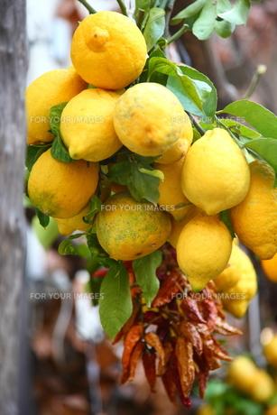 レモンの写真素材 [FYI00034324]