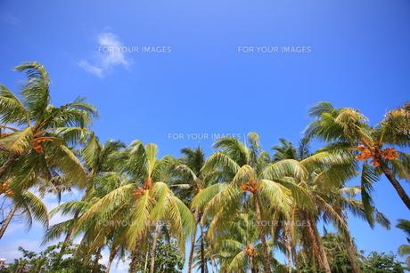 椰子の木の写真素材 [FYI00034609]