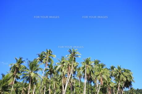 ヤシの木の写真素材 [FYI00034653]