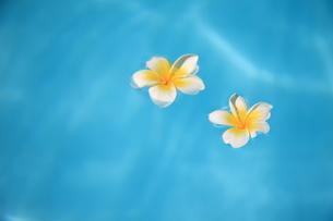 水に浮かぶプルメリアの写真素材 [FYI00034661]