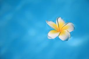 水に浮かぶプルメリアの写真素材 [FYI00034663]
